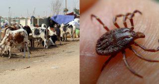 Congo virus took three lives in Karachi