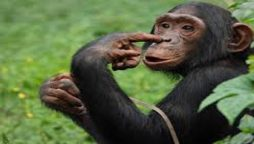 Because of the affair with a chimpanzee, a zoo banned women